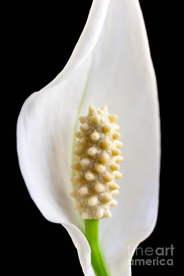 Photograph - Calla Lily by Andy Myatt