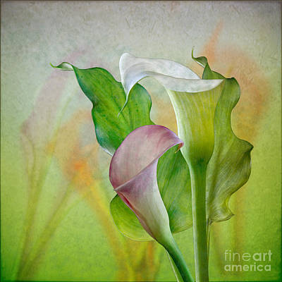 Calla Lily Garden Art Print by Shirley Mangini