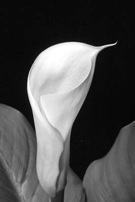 Photograph - Calla Lily In Black And White by Harold Rau