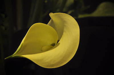 Photograph - Calla Lily Iv by Ron White