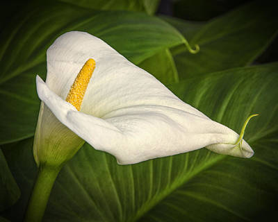 Photograph - Calla Lily by Jeanne Hoadley