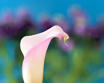Photograph - Calla Lily by Joan Herwig
