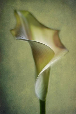 Calla Lily Wall Art - Photograph - Calla Lily by Lotte Andersen
