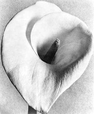 Mexico City Photograph - Calla Lily, Mexico City, 1925 by Tina Modotti