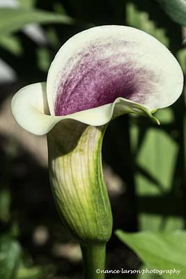 Photograph - Calla Lily by Nance Larson