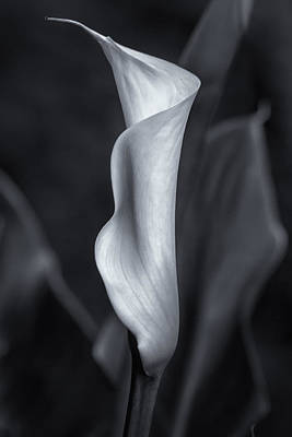 Photograph - Calla Lily No. 2 - Bw by Belinda Greb