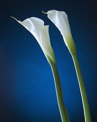 Calla Lily On Blue Art Print