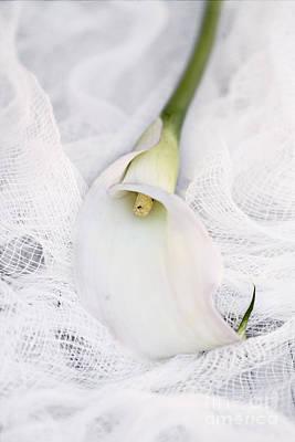 Calla Lily On White Background Art Print by Stephanie Frey