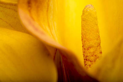 Print featuring the photograph Calla Lily by Sebastian Musial