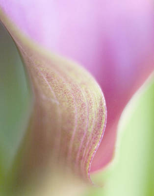Photograph - Calla Lily V by David and Carol Kelly