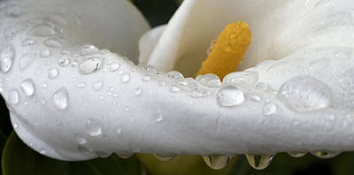 Photograph - Calla Lily With Raindrops by Nadalyn Larsen
