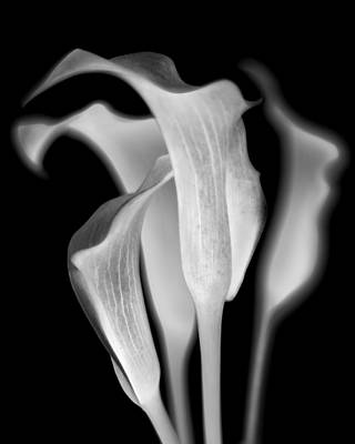 Wall Art - Photograph - Callas by Jaromir Hron