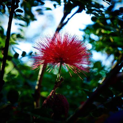 Photograph - Calliandra Haematocephala by Jouko Lehto