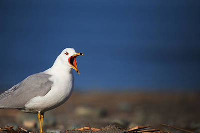 Photograph - Calling All Gulls by Karol Livote