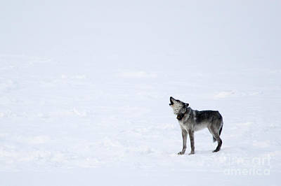 Wolf Wall Art - Photograph - Calling Home by Deby Dixon
