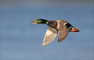 Photograph - Calling Mallard In Flight by Daniel Behm