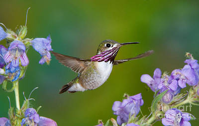 Calliope Hummingbird Art Print by Anthony Mercieca