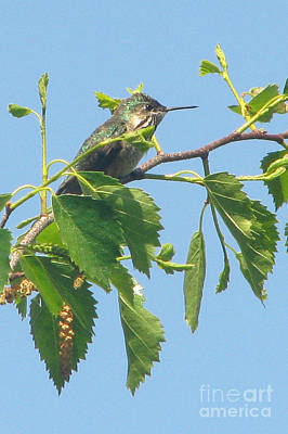 Photograph - Calliope Hummingbird by Frank Townsley