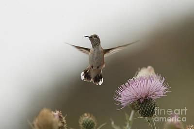 Photograph - Calliope Hummingbird by Tony Mills