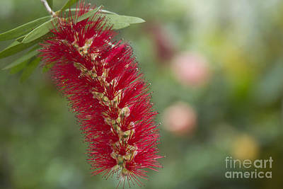 Crimson Bottlebrush Photograph - Callistemon Citrinus - Crimson Bottlebrush by Sharon Mau