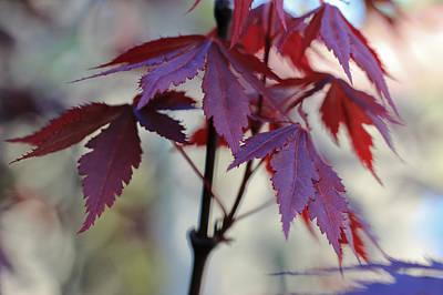Maple Leaf Art Photograph - Calm by Heidi Smith