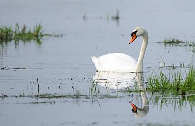 Rowing - Calm Mute swan  by Andy-Kim Moeller