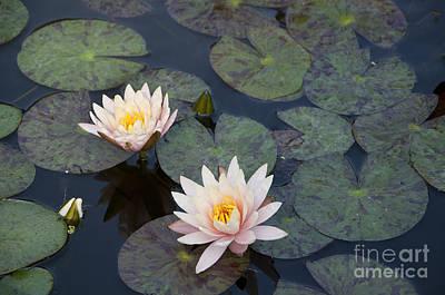 Photograph - Calming Waterlilies by Brenda Kean