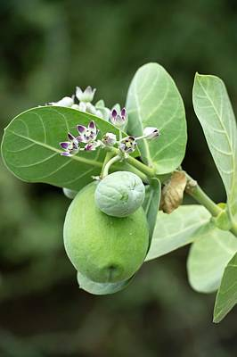 Calotropis Procera Plant With Fruit Art Print