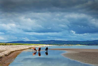 Calves On The The Cunnigar, Dungarvan Art Print by Panoramic Images