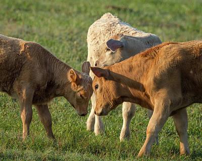 Red Angus Cow Photograph - Calves Playing Around, Sumter County by Maresa Pryor