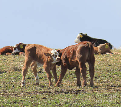 Photograph - Calves Playing by Donna Munro