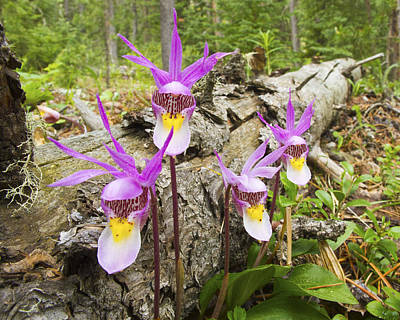 Big Thompson River Photograph - Calypso Orchid by John Rising