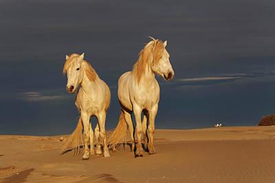 Adam Photograph - Camargue Horse On Beach At Sunrise by Adam Jones