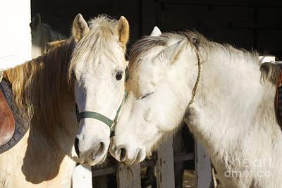 Camargue Horses Nuzzling Art Print