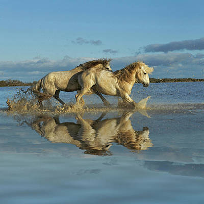 Photograph - Camargue Horses Running Through Water by Danita Delimont