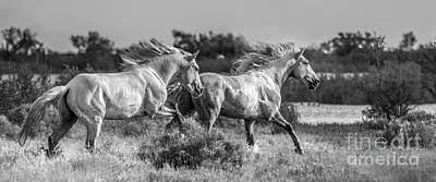 Gray Horses Photograph - Camargue Stallions by Heather Swan