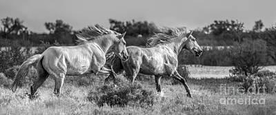 Camargue Stallions Art Print by Heather Swan