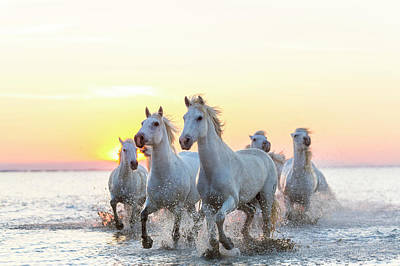 Animal Animal Photograph - Camargue White Horses Running In Water by Peter Adams