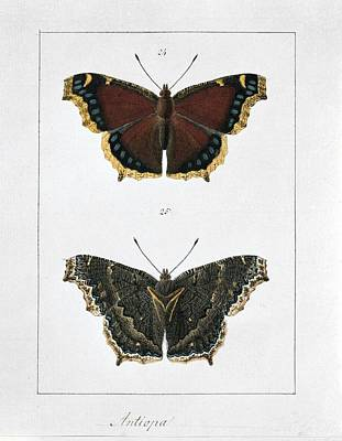 Artwork Of Butterfly Photograph - Camberwell Beauty Butterfly, Artwork by Science Photo Library