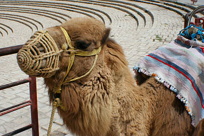 Photograph - Camel by Jon Emery