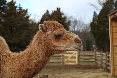 Mt Photograph - Camel - Mt Vernon - 01131 by DC Photographer