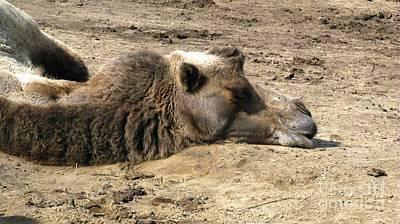Photograph - Camel Nap by Ausra Huntington nee Paulauskaite