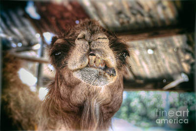 Discount Codes Wall Art - Photograph - Laughing Camel  by Doc Braham