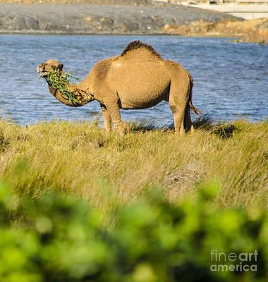 Photograph - Camel Snack by Deborah Smolinske