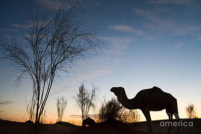Desert Sunset Photograph - Camel Sunset by Delphimages Photo Creations