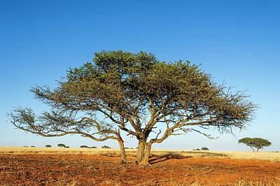 Camel Photograph - Camel Thorn Acacia Tree In The Kalahari by Peter Chadwick