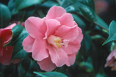 Photograph - Camellia 1 by Andy Shomock