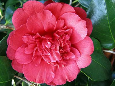 Photograph - Camellia 1 by Helene U Taylor