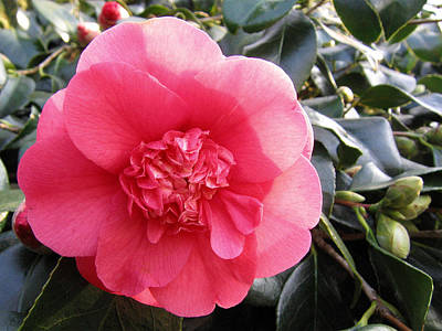 Photograph - Camellia 3 by Helene U Taylor