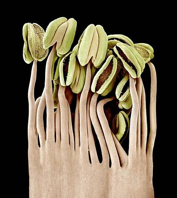 Camellia Photograph - Camellia Flower Stamens, Sem by Science Photo Library